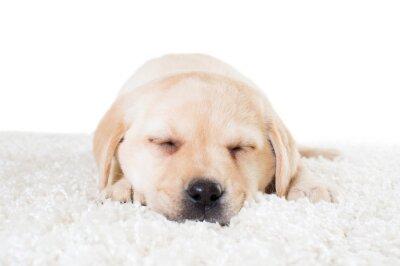 Plakat labrador szczeniak śpi na puszystą dywanie