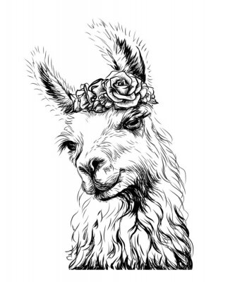 Plakat Lama/Alpaca. Sticker on the wall in the form of an outline, hand-drawn artistic portrait of a lama on a white background.