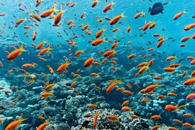 Plakat Ławica anthias ryb na rafie koralowej