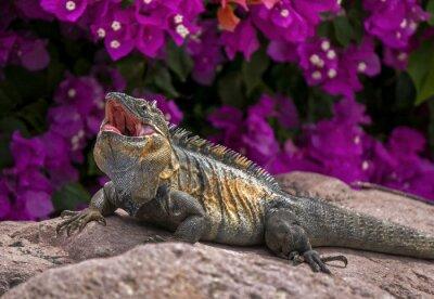 Plakat Legwan zielony (Iguana iguana) odpoczynku na skale