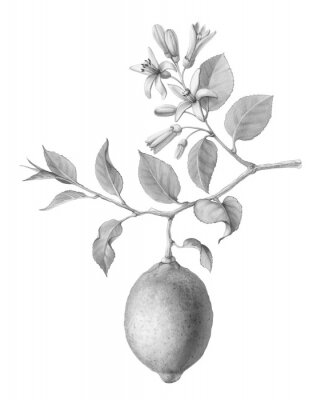 Plakat Lemon Tree Fruit and Flowers Hand-drawn Pencil Illustration Isolated on White