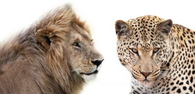 Plakat Leone e Leopardo insieme