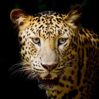Plakat Leopard portret