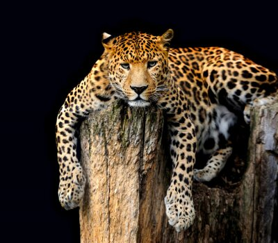 Plakat Leopard samodzielnie na czarnym tle