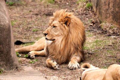 Plakat lew afrykański