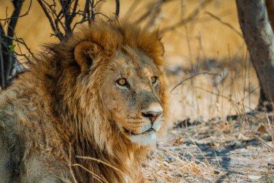 Plakat lew w Afryce