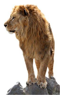 Plakat Lion na kamieniach