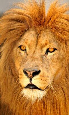 Plakat lion sam