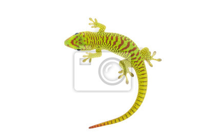 Plakat Madagaskaru dzień gecko na białym tle.