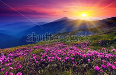 Plakat Magiczne różowe kwiaty rododendronów na górze latem