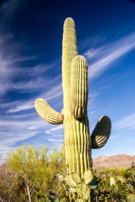 Plakat Majestic Saguaro Cactus