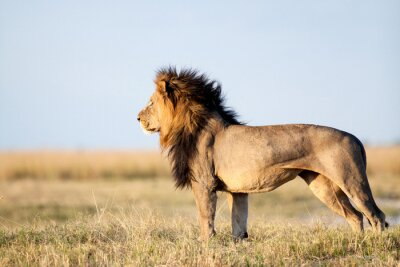 Plakat Male Lion