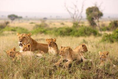 Plakat Małe szczeniaki Lion relaks
