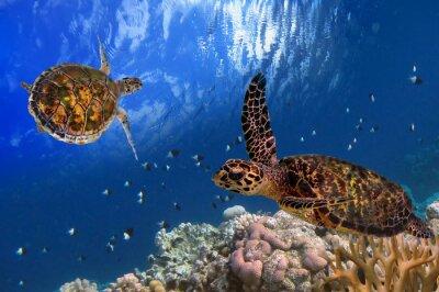 Plakat Malediwach Żółw morski pływający