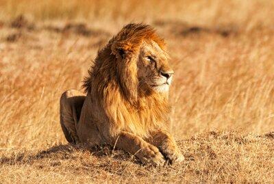 Plakat Mężczyzna lew w Masai Mara