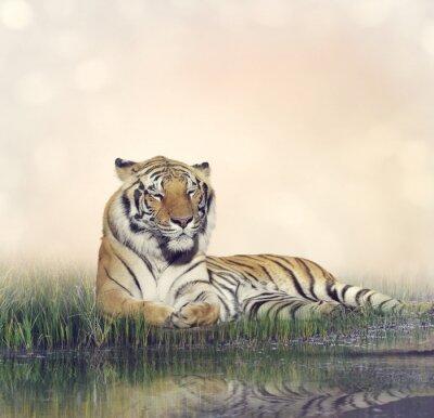 Plakat Mężczyzna Tiger odpoczynku