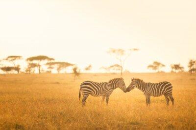 Plakat Miłość Zebra w Serengeti