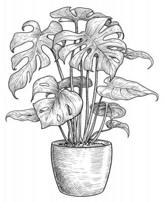 Plakat Monstera illustration, drawing, engraving, ink, line art, vector