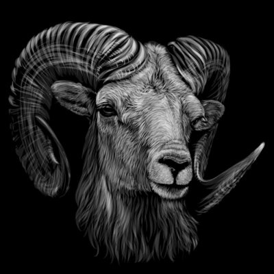 Plakat Mountain sheep. Artistic, monochrome, black and white, hand-drawn portrait of a mountain sheep on a black background.