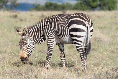 Plakat Mountain Zebra wypas