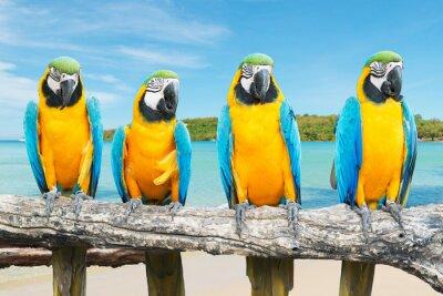 Plakat Niebieski i Gold ara na tropikalnej pięknej plaży i morza