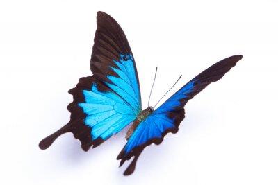 Plakat Niebieski i kolorowe motyle na białym tle