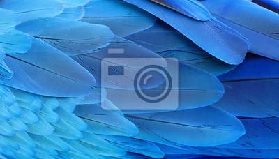 Plakat Niebieskie i złote pióra ara.