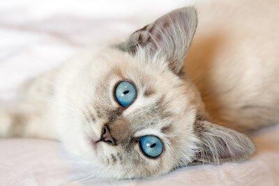 Plakat Niebieskie Oczy Kitten