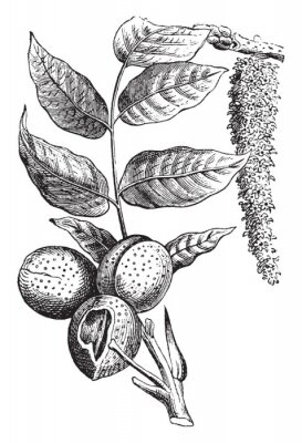 Plakat Nut vintage illustration.
