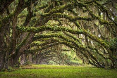 Plakat Oaks Avenue Charleston plantacji SC Live Oak drzew puszczy