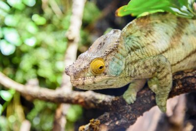 Plakat Oddział Zielona Chameleon Lizard On