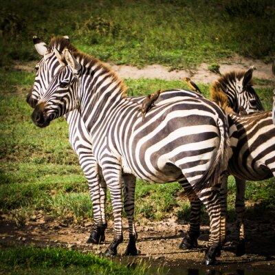 Plakat oxpeckers ptaki otrzymują pożywienie jeść wszy na afrykańskie zebry i uzyskać kontrolę szkodników