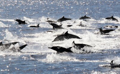 Plakat Pacific Wspólne Dolphin Stampede