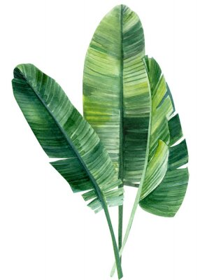 Plakat palm tree, leaves of tropical forests on an isolated white background, watercolor illustration