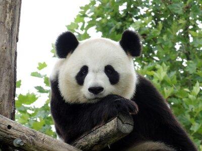Plakat Panda Geant 3