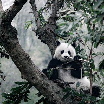 Plakat Panda na drzewie