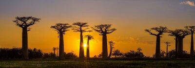 Plakat Panorama widok na zachód słońca nad Baobab alei