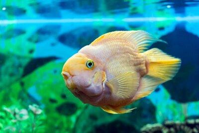 Plakat Parrot ryb zbliżenie