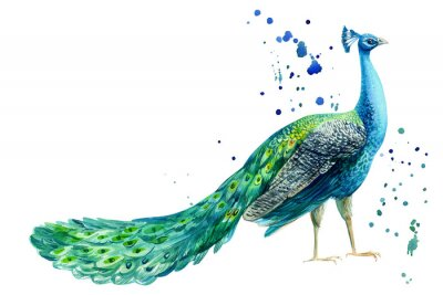 Plakat peacock bird on a white background, watercolor hand drawing