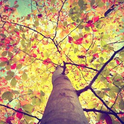 Plakat Piękne zabytkowe sezonie jesień słońce świecące przez kolorowe drzewa bukowego pozostawia. Spójrz w górę do korony słonecznej jesieni drzew.