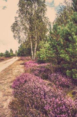 Plakat Piękny krajobraz las z kwitnące wrzosy przez wiejskiej drodze