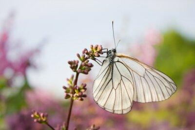 Plakat piękny motyl na kwiatach bzu