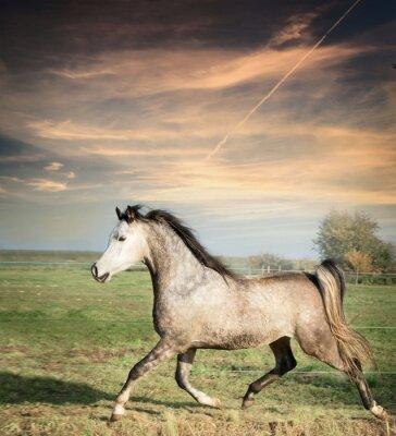 Plakat piękny ogier koń działa na wolności na pastwisku tle