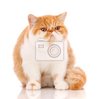 Plakat Piękny, rasowy kot. Kotek - portret kota egzotycznego