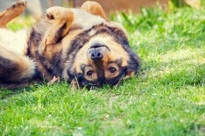 Plakat Pies leży na plecach na trawie