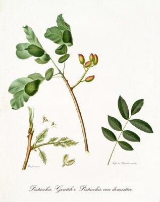 Plakat pistacja z liśćmi i innymi elementami botanicznymi. Cały skład jest izolowany na białym tle. Stara szczegółowa ilustracja botaniczna Giorgio Gallesio opublikowana w 1817, 1839