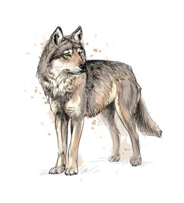 Plakat Portrait of a wolf from a splash of watercolor, hand drawn