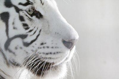 Plakat Porträt Weißer Tiger