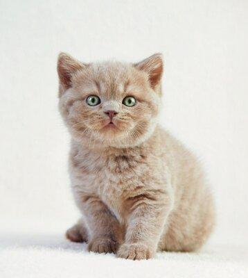 Plakat portret brytyjskiej krótkiej kotka włosów