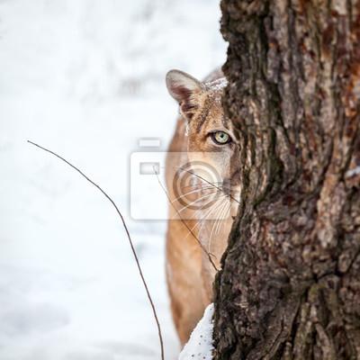 Plakat Portret cougar, puma, puma, cougar za drzewem.